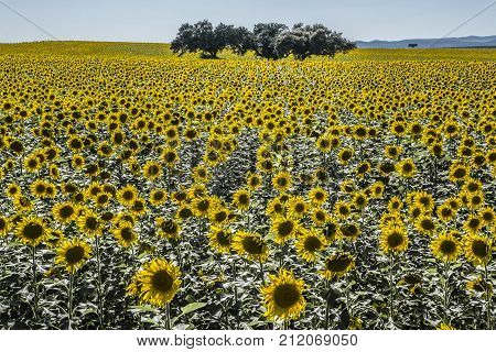 Sunflower field in in backlight over clean blue sky with holm oak tres in the middle Badajoz Extremadura Spain