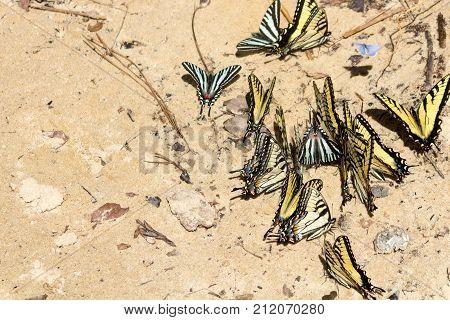 Tiger swallowtail and zebra swallowtail butterflies gathering on sandy beach