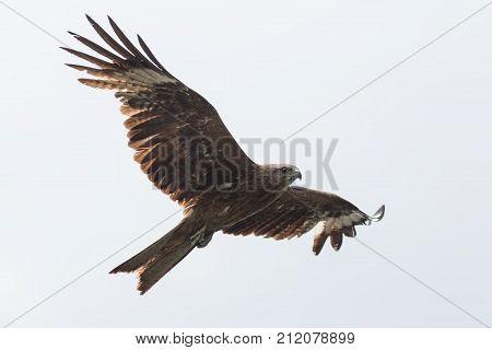 Black kite flying in the sky .