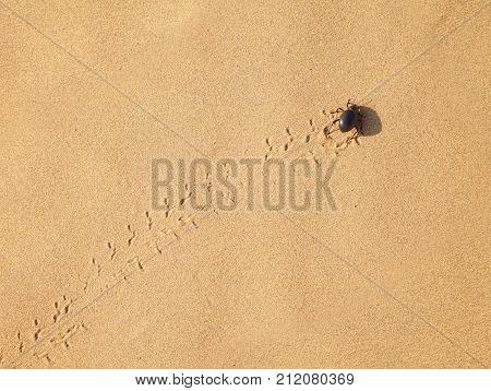 Scarabaeus On Sand