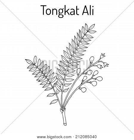 Tongkat Ali Eurycoma longifolia , or Pasak Bumi, medicinal plant. Hand drawn botanical vector illustration