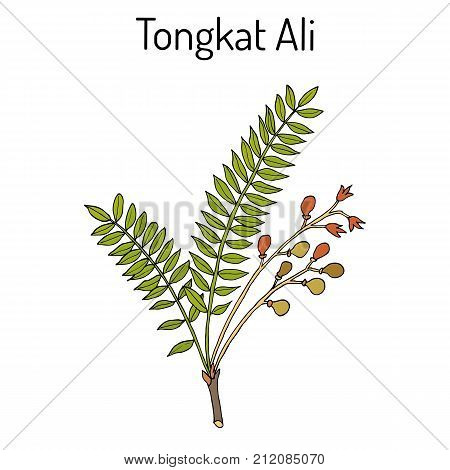 Tongkat Ali Eurycoma longifolia , or Pasak Bumi, medicinal plant. Hand drawn botanical vector illustration
