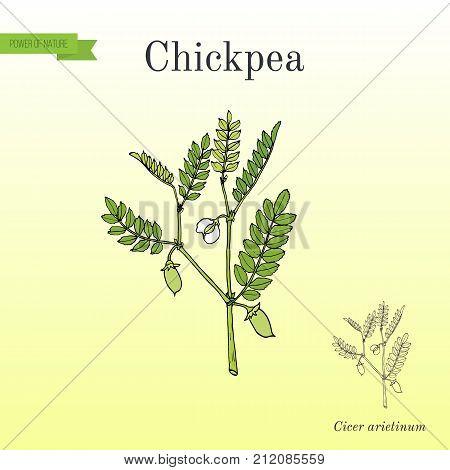 Chickpea Cicer arietinum , or bengal gram, garbanzo bean, egyptian pea. Hand drawn botanical vector illustration