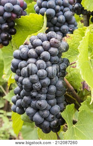 Several Pinot Noir Grapes in the Champagne region at a vine in a vineyard in France.