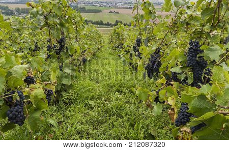 Pinot Noir Vineyard in Hautvillers with lots of binches of grapes France.