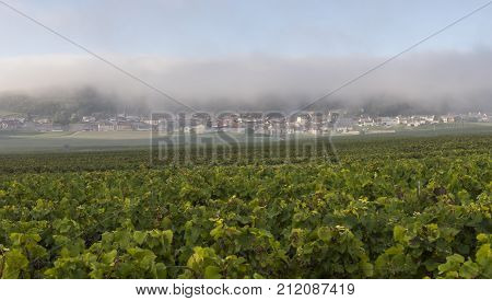 Vineyards at Verzenay harvest of Pinot Noir grapes in the Champagne region on a misty morning.