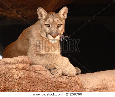 Cougar looking out from cave