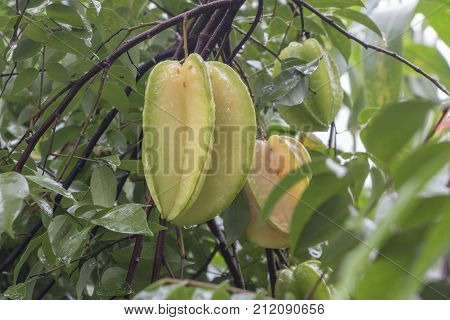 Star fruit hanging on a tree.Carambola treeStar appleStar fruit photo.