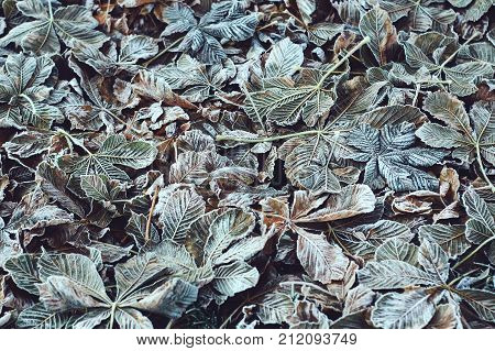Fall leaves of horse-chestnuts or Aesculus hippocastanum after early frosts in autumn park.