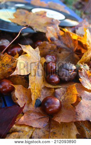 Ripe horse-chestnuts or Aesculus hippocastanum close up.