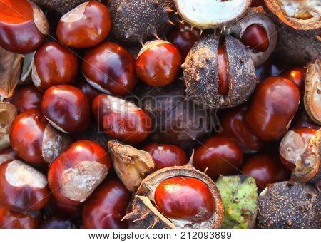 Horse-chestnuts or Aesculus hippocastanum close up. Ripe fruits.