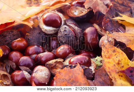 Ripe fruits of horse-chestnuts or Aesculus hippocastanum close up.