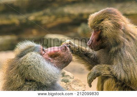Hamadryas Baboon also known as Papio hamadryas taking care of each other.