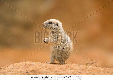 Baby prairie dog also known as genus cynomys.