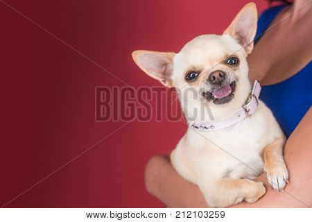 Protection alertness bravery. Chihuahua dog smiling in female hands. Pet companion friend friendship. Puppy face with happy smile on red background. Devotion and constancy concept copy space