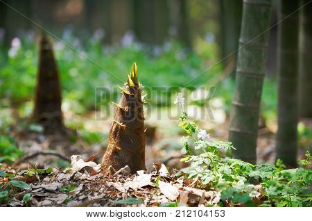 young bamboo shoot, bamboo sprout in the forest.