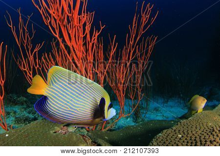 Emperor Angelfish tropical fish on underwater coral reef