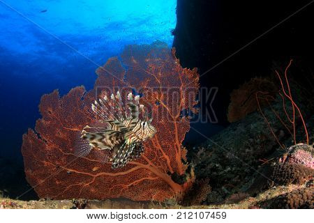 Lionfish and Gorgonian Fan Coral in Similan Islands, Thailand