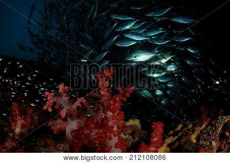 Tuna fish. Red Soft Corals and tuna fish on ocean