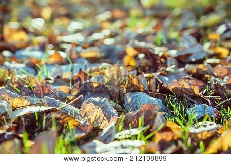 autumn leaves with hoar in november morning. Open aperture, shallow depth of field. Blurred foreground and background.