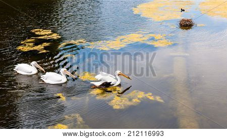 Swimming birds in seach of building material for nest, London, England
