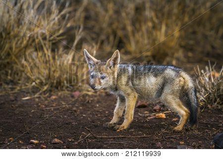 Black-backed jackal in Kruger national park, South Africa ; Specie Canis mesomelas family of Canidae