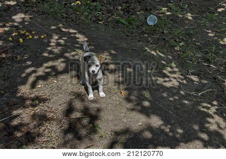 Jack Russell Terrier young  dog on the nature to seek way for home, Ludogorie area, Zavet, Bulgaria