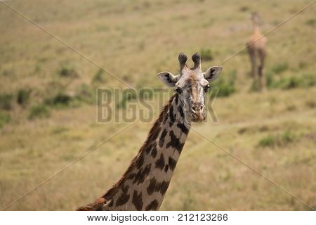 Inquisitive giraffe turning and posing for the camera