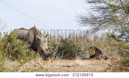 Southern white rhinoceros and african lion in Kruger national park, South Africa ; Specie Ceratotherium simum simum and Panthera leo