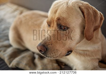 Close up side view neb of serene animal companion lying on cozy sofa in living room. Relax concept poster