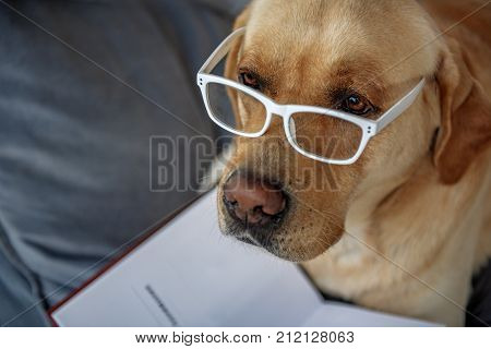 Top view of serious smart dog wearing glasses while relaxing on sofa