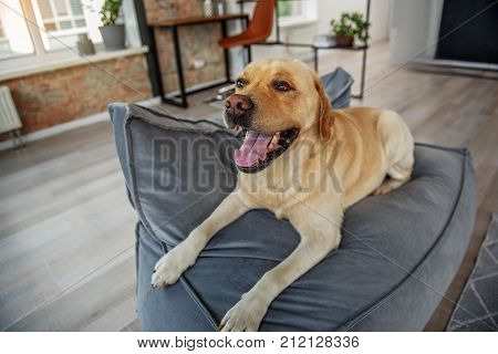 Top view portrait of yawning dog lying on comfortable sofa in bright living room