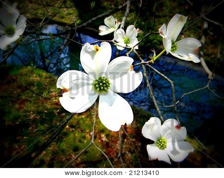 Dogwood Over Water