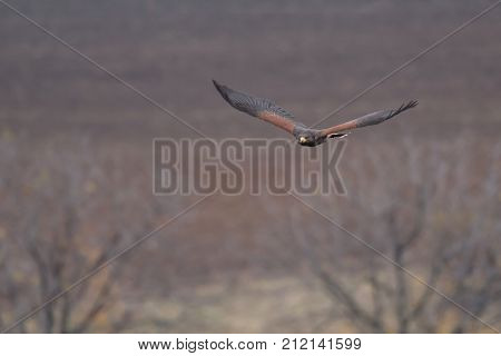 The Harris's hawk Parabuteo unicinctus formerly known as the bay-winged hawk or dusky hawk is a medium-large bird of prey