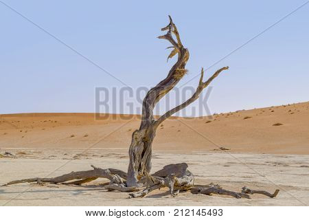 Namib desert scenery with dead acacia tree around Deadvlei in the Sossusvlei area in Namibia Africa