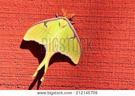 Close-up of a bright yellow Luna moth as it clings to the side of a red  wooden barn.