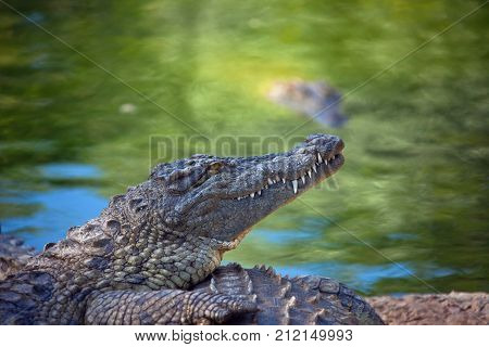 Nile crocodile on the shore. The African crocodile head in profile. South Africa