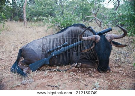 Trophy adult male wildebeest with a rifle after hunting. Blue wildebeest with a hunting rifle after a Safari in Africa.