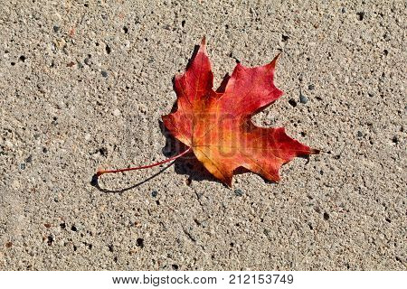 Single brilliant red maple on the cement