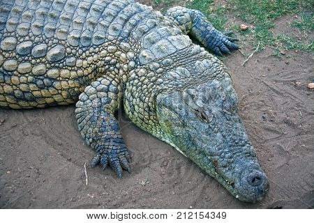 Nile crocodile on the shore. The front part of the body of the African crocodile. South Africa