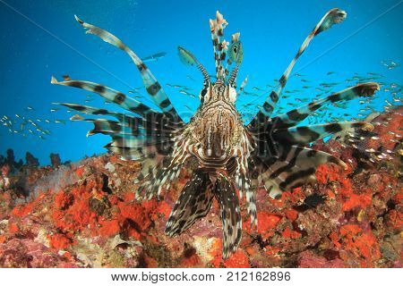 Lionfish on coral reef. Fish underwater