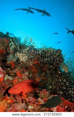 Coral Trout (Grouper) and Lionfish fish underwater