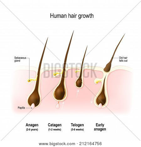 Hair growth. anagen is the growth phase; catagen is the regressing phase; and telogen the resting phase. Vector diagram