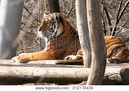 a strong tiger with beautiful fur and distinctive eyes on the walk nature