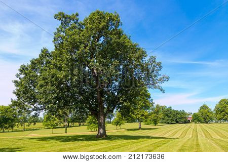 Big oak tree at horse farm country simmer landscape.