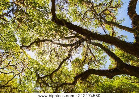 Canopy of old live oak trees draped in spanish moss. Natural background.