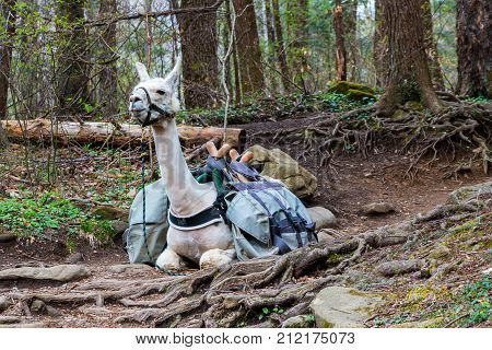 Animal Lama used for carry heavy packs resting in the forest.