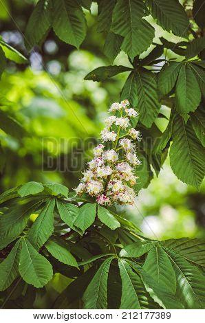 White Chestnut Flowers. Chestnut At Spring
