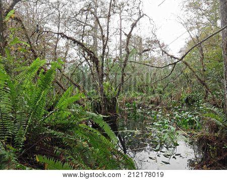 Natural Swamp Landscape Corkscrew Swamp Sanctuary Audubon Naples Florida