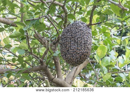 Close up of bees on honeycomb with lemon tree.Hives in an apiary.Apicultureinsect or animal.